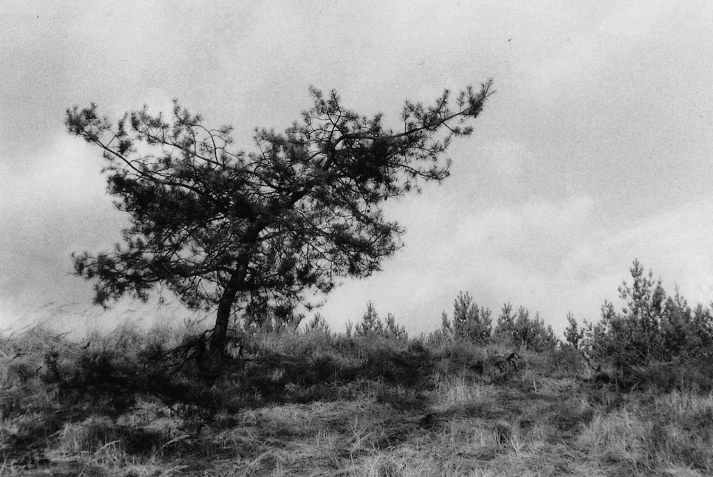 Nadelgehölz – Baum s/w