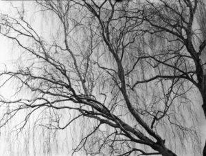 Ein Birkenbaum auf analogen Film mit hängen Zweigen
