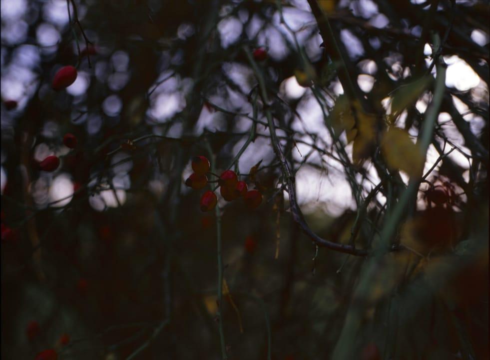 Hagebuttenstrauch Nahaufnahme - Kodak E100 120 Rollfilm analoge Fotografie